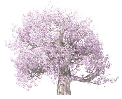 벚꽃 나무 _ 만개 _001