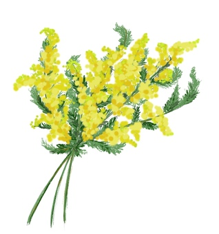 Illustration of bouquet of mimosa