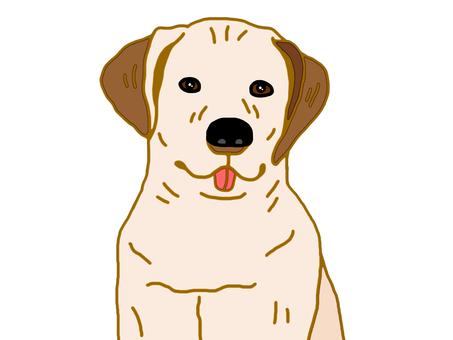 Labrador retriever