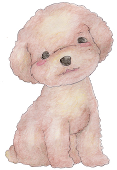 Toy poodle 01