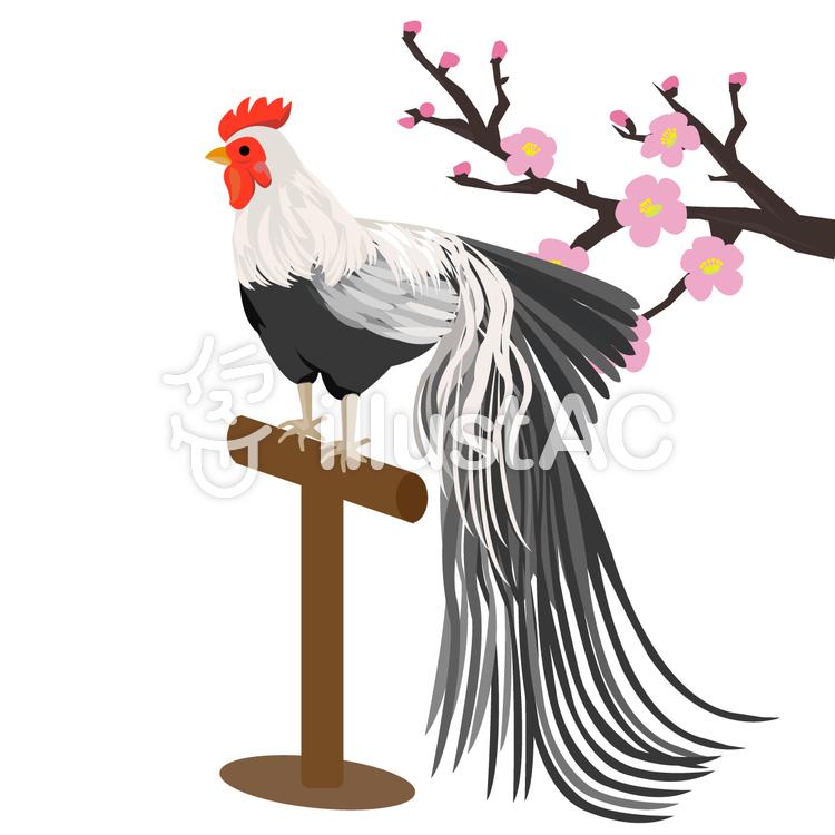 酉年 尾長鶏と梅のイラスト