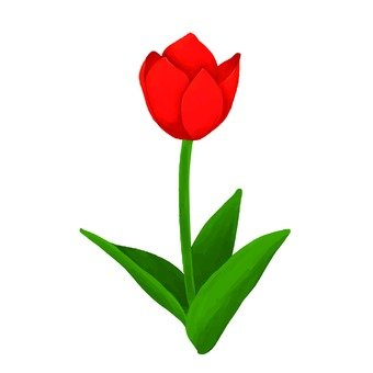 紅色鬱金香