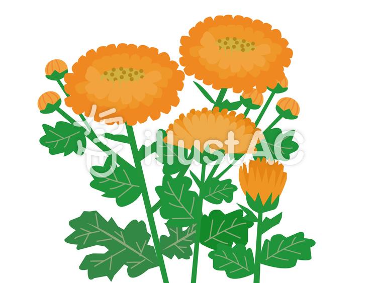 オレンジの菊のイラスト