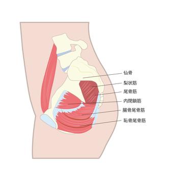 Pelvic floor muscles side view