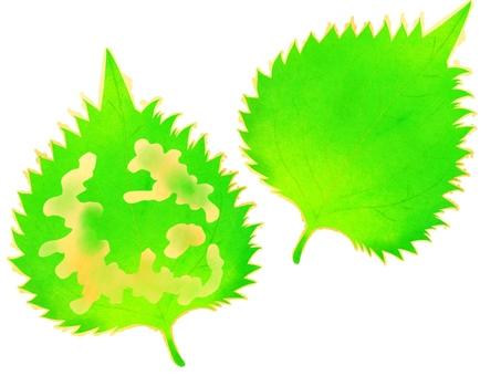 Large leaf tempura