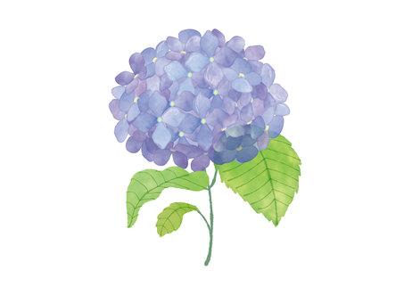 八仙花屬的例證