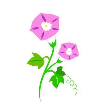 粉紅色的牽牛花