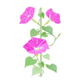나팔꽃 핑크