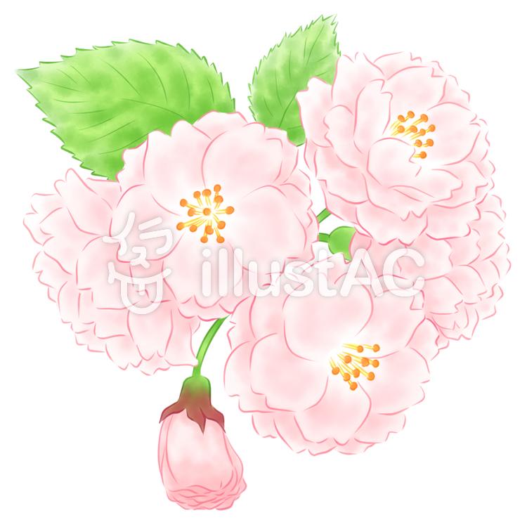 八重桜のイラスト