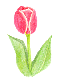 Tulip 01 (color pencil drawing)