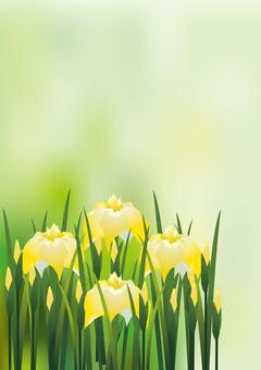 노란 꽃 창포 6