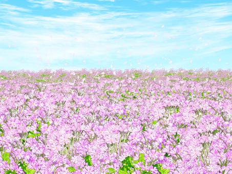 Primula flower field