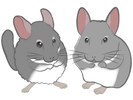 Chinchilla 2