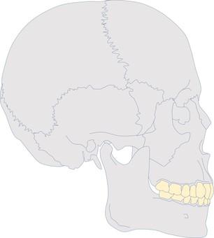 Craniofacial profile S.ClⅡdiv2