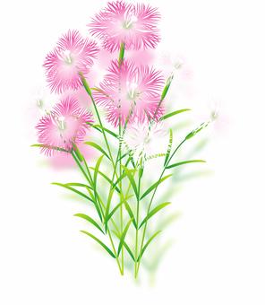 패랭이꽃의 꽃