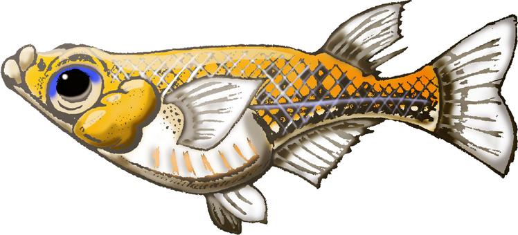 Freshwater fish Medaka