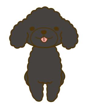 Toy poodle black