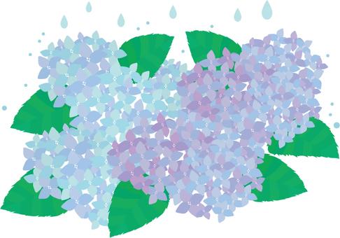Rain and hydrangea