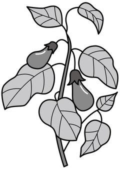 Eggplant 2c