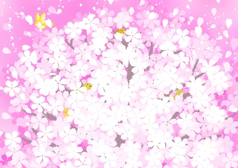 Full bloom cherry tree