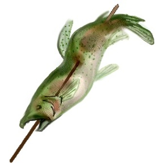 鹽烤虹鱒魚