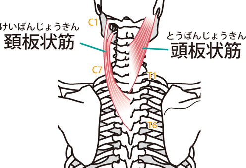 Neck plate-like muscle / head plate muscle