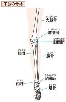 Lower limb skeleton