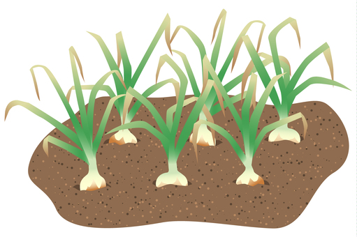 Onion buried in the soil