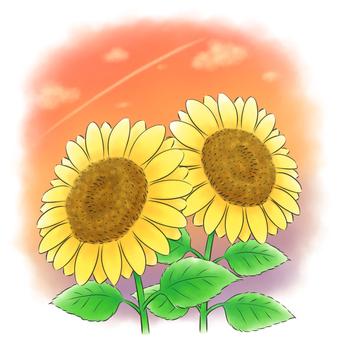 Sunflower duo sky in the evening sky