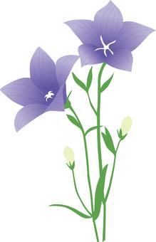 Campanulaceae
