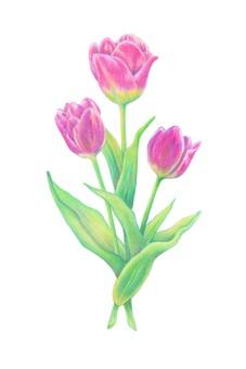 Tulip colored pencil
