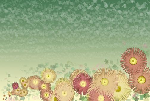 小菊背景1
