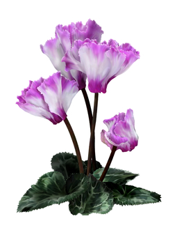 Cyclamen / white + pink (watercolor)