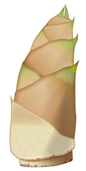 Bamboo shoot / Vegetable