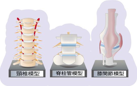 Bone (spine, cervical, knee) model