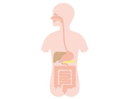 Human body internal digestive digestive system