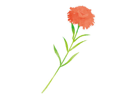 Illustration of watercolor carnation