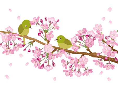 Sakura and mezzo