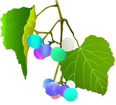Wild grapes (horse grapes) Ⅱ