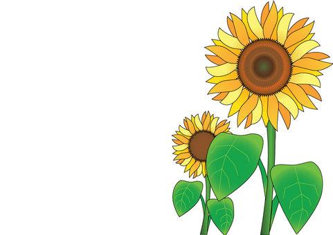 Sunflower A4