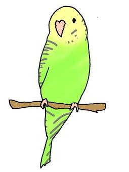 Yellow green sexi parakeet