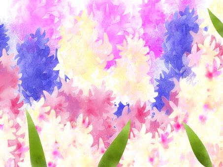 Illusion hyacinth