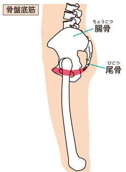Pelvic floor muscle (sideways)