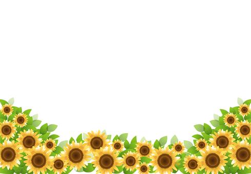 Sunflower 43