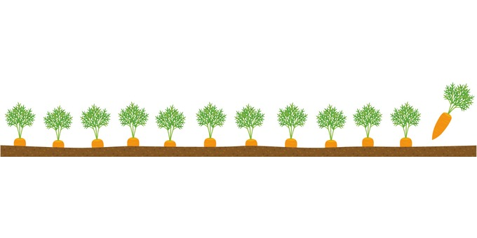 Carrot field border