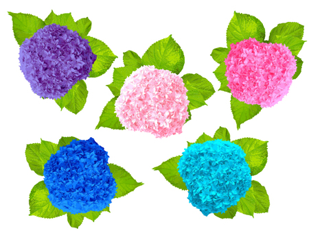 Blue, purple, pink colorful hydrangea and white background