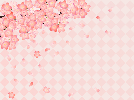 Cherry blossoms bloom