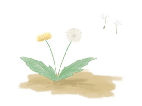 Dandelion (flower and fluff)
