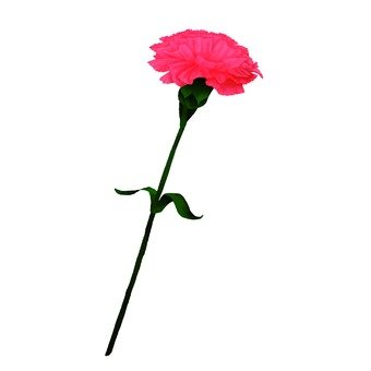 粉紅色康乃馨