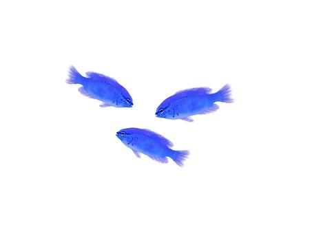 Illustration of okinawa fish luris sea bream